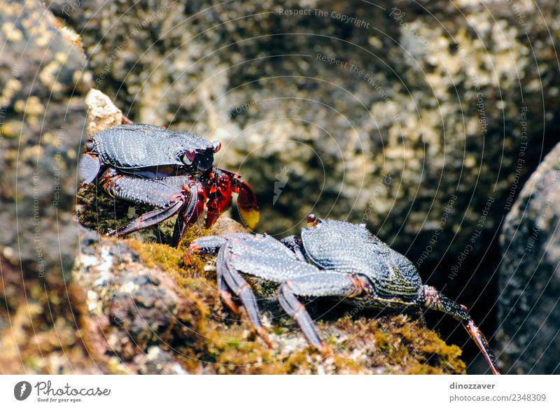 Wilde Krabben auf den Felsen Meeresfrüchte Leben Strand Umwelt Natur Tier Küste frisch natürlich wild groß Krallen Lebewesen Schmarotzerrosenkrebs ökologisch
