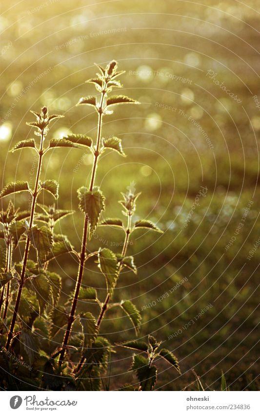 Brennnessel Kräuter & Gewürze Ernährung Umwelt Natur Pflanze Wildpflanze wild grün Unkraut Wärme heiß brennen Juckreiz Farbfoto Außenaufnahme