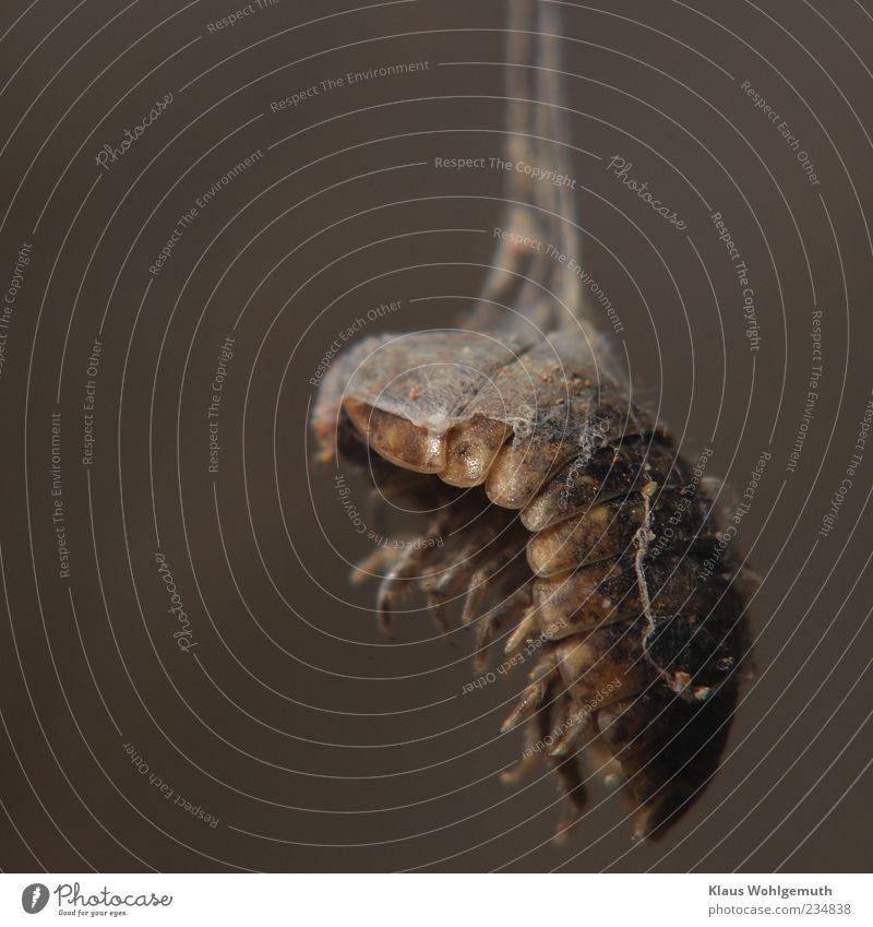 Ich habe mal gelebt Tier Totes Tier Kellerasseln 1 hängen braun grau Tod Insekt Chitin Beine Spinngewebe Beute dunkel Farbfoto Gedeckte Farben Innenaufnahme