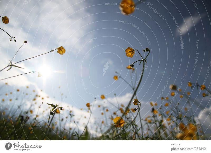 butterblumen im gegenlicht Umwelt Natur Pflanze Himmel Sonne Frühling Blume Hahnenfuß Wiese leuchten gelb Farbfoto Außenaufnahme Menschenleer Tag Abend