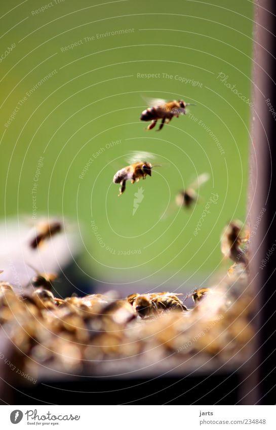 ohne fleiß kein honig Natur Arbeit & Erwerbstätigkeit Wildtier fliegen natürlich Biene Teamwork fleißig Tier Bienenstock Bienenkorb