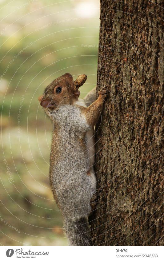 Aufwärts Umwelt Natur Herbst Baum Baumstamm Baumrinde Park Wald Montreal Québec Kanada Tier Wildtier Säugetier Nagetiere Eichhörnchen 1 Fressen frech klein