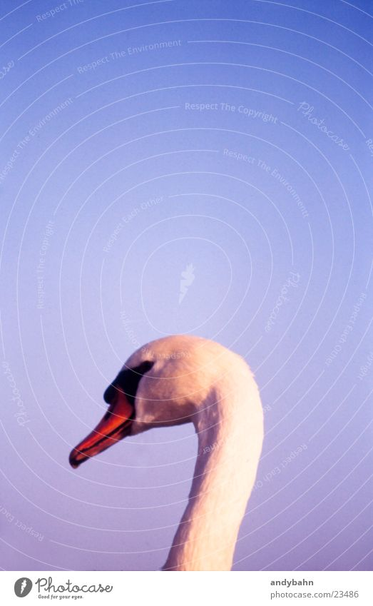 schwan Himmel weiß Hals edel Schnabel Schwan Anmut erhaben