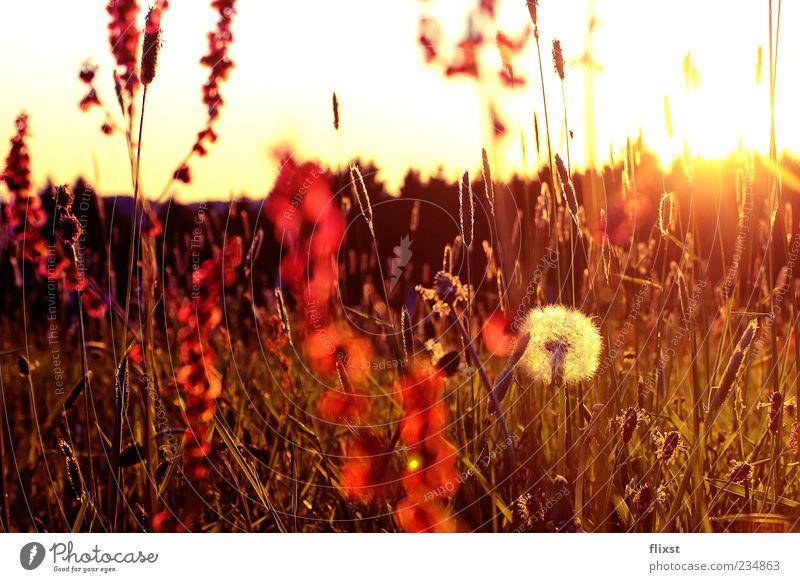 The best of times is now Natur Sonnenaufgang Sonnenuntergang Frühling Schönes Wetter Blume Sträucher Wiese Frühlingsgefühle Löwenzahn Farbfoto Außenaufnahme