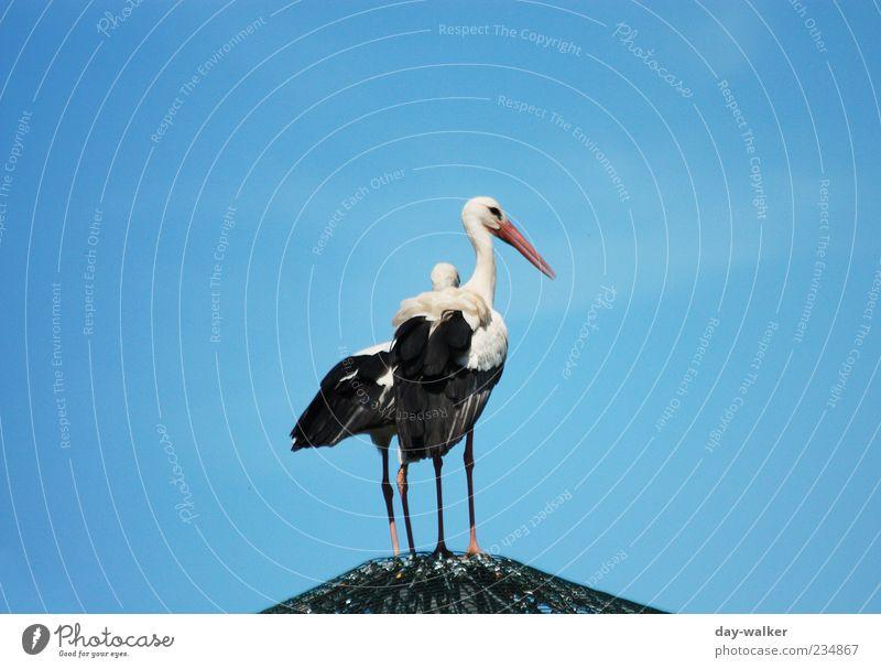 Moin Kollege Natur Tier Wolkenloser Himmel Frühling Wildtier Vogel Zoo 2 Tierpaar groß blau schwarz weiß Storch Dach Schnabel Feder Farbfoto Außenaufnahme