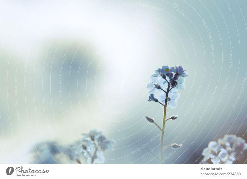 blassblau Himmel Natur blau schön Pflanze Sommer Blume Frühling Blüte zart Pastellton Vergißmeinnicht