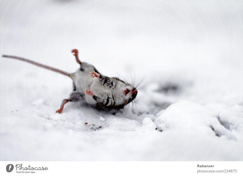 MauseTOTgefroren Natur Wetter Eis Frost Schnee USA Amerika Tier Wildtier Totes Tier 1 Tierjunges außergewöhnlich Ekel trist grau schwarz weiß Tod gefährlich