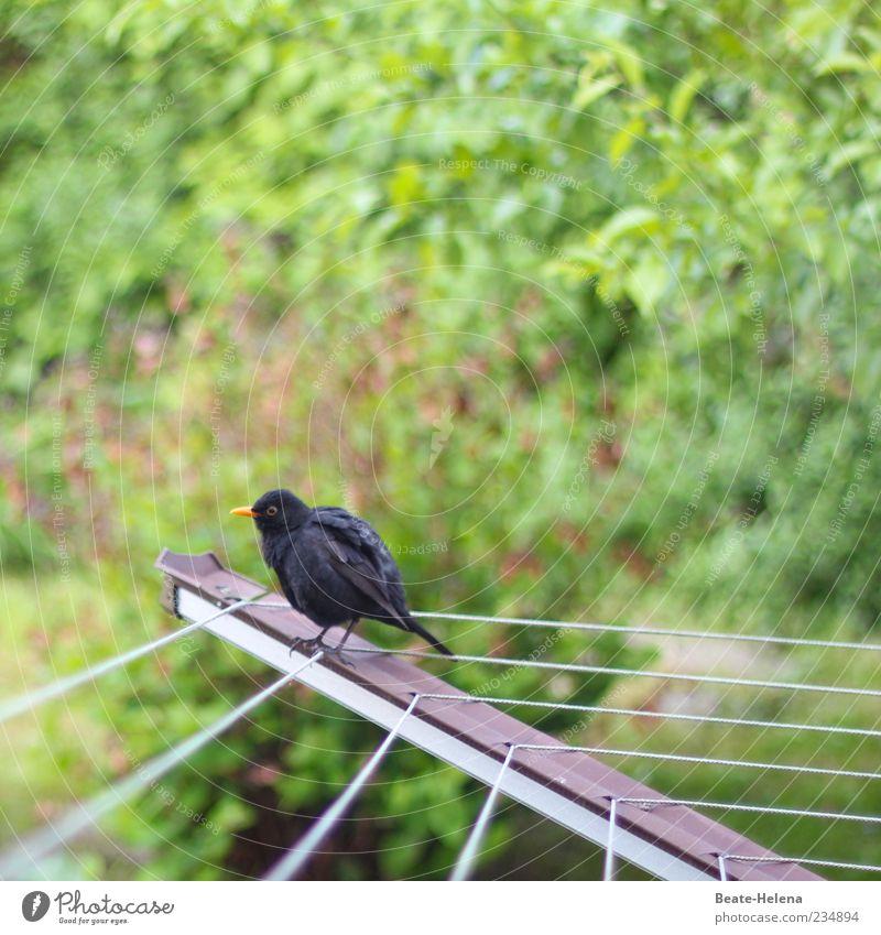 Nach dem Vogelbad grün Blatt Tier schwarz sitzen warten natürlich Sträucher rund anstrengen Schnabel Wäscheleine schaukeln gefiedert Gerät