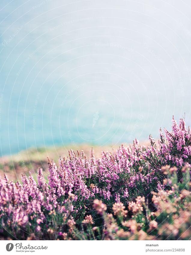 Foto von Erika Natur Pflanze Ferien & Urlaub & Reisen Meer Blume Landschaft Küste Blüte hell rosa authentisch Sträucher einfach violett Blühend Wildpflanze