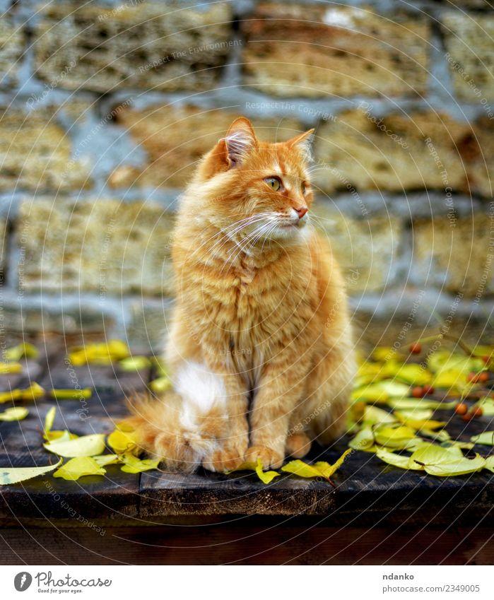 rote Katze sitzend Tier Haustier 1 niedlich gelb orange Hintergrund heimisch fluffig Tabby eine reizvoll Behaarung jung Farbfoto Menschenleer Porträt Blick