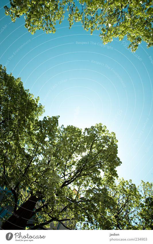 himmelwärts Himmel blau grün Baum Pflanze Blatt Umwelt Frühling Klima natürlich hoch Wachstum Schönes Wetter Wolkenloser Himmel Blätterdach