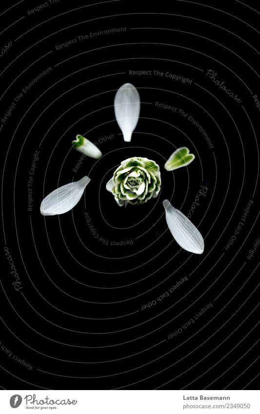 Schneeglöckchen Lifestyle elegant Design schön Duft Garten Umwelt Natur Pflanze Frühling Winter Blume Blüte ästhetisch authentisch natürlich feminin grün