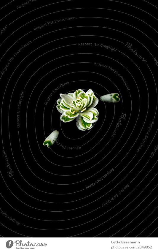 Schneeglöckchen Stil schön harmonisch Winter Umwelt Natur Pflanze Frühling Blume Blüte Blütenblatt ästhetisch natürlich Stimmung Farbfoto Nahaufnahme