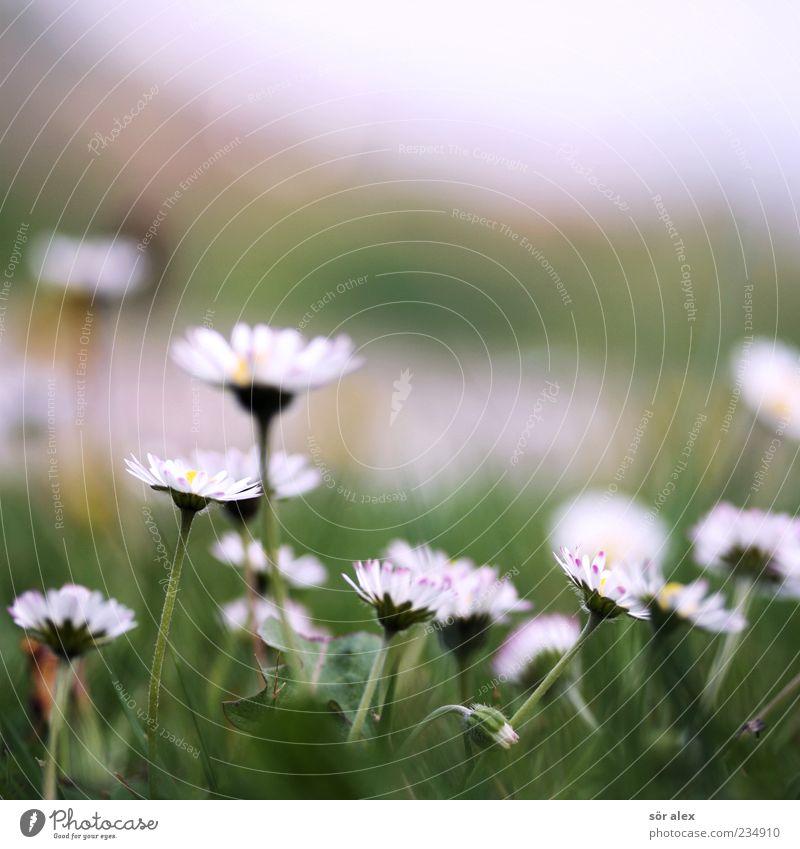 Blümchenwiese Natur Pflanze Frühling Wetter Blume Gras Blüte Margerite Wiese Blühend Duft schön grün weiß Frühlingsgefühle ruhig Zufriedenheit Gelassenheit