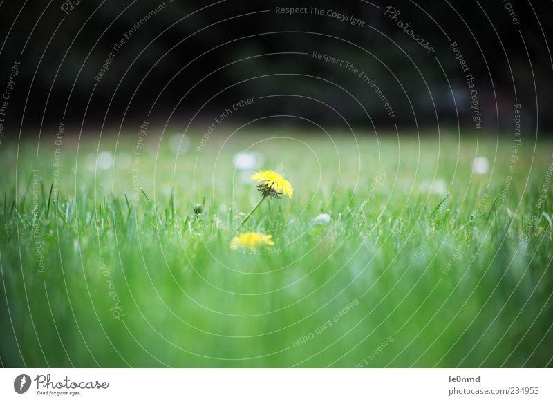 Löwenzahn in der Wiese grün schön Pflanze Sommer gelb Landschaft Gras Frühling Garten natürlich authentisch gut positiv Grünpflanze