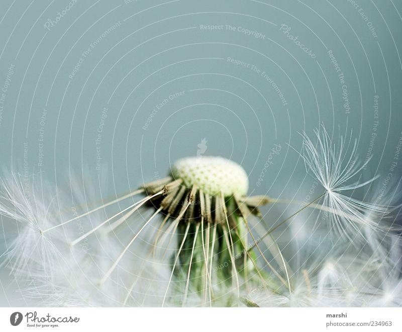 puste mich nackig Natur Pflanze blau braun Löwenzahn Samen weich Hintergrundbild Hintergrund neutral Textfreiraum oben Unschärfe Nahaufnahme Farbfoto
