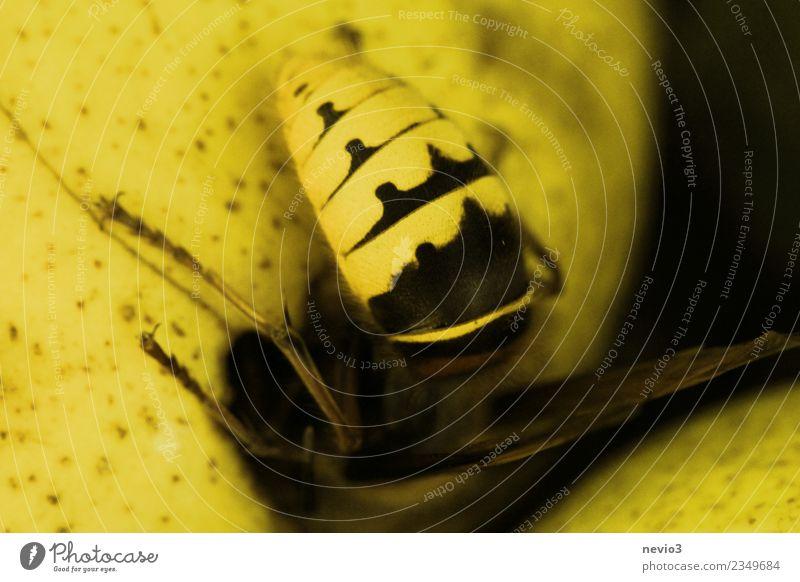 Hornisse auf einer Birne Umwelt Natur Herbst Tier Wildtier Biene Flügel 1 wild gelb Wespen Hornissen Panzer Frucht Obstbaum bedrohlich gefährlich Warnung