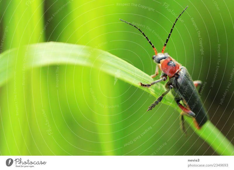 Zipfelkäfer auf Grashalm Natur Pflanze Sommer grün Tier Umwelt Frühling Wiese klein Garten Park Wildtier Lebewesen Insekt Halm