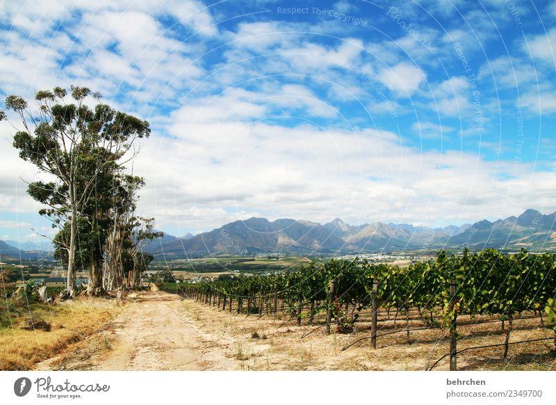 winelands Ferien & Urlaub & Reisen Tourismus Ausflug Abenteuer Ferne Freiheit Natur Landschaft Himmel Wolken Baum Nutzpflanze Wein Weinberg Feld