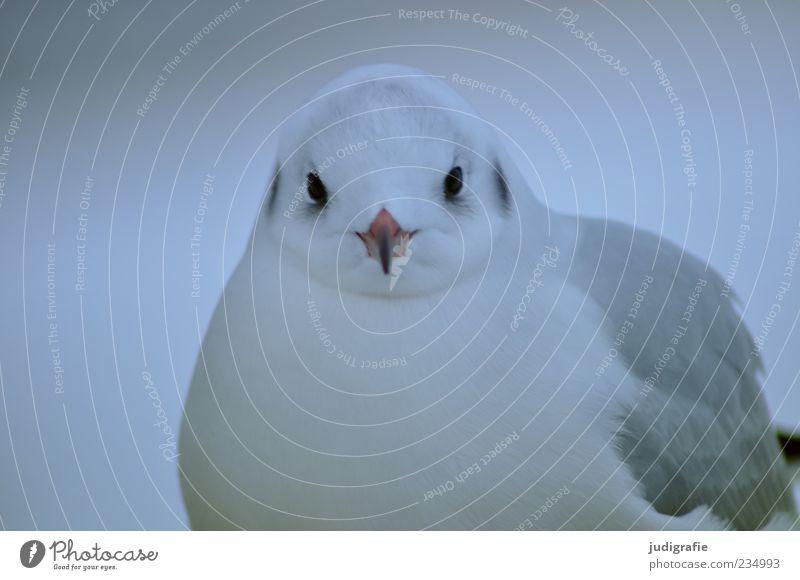 Möwe Natur Tier Wildtier Vogel Lachmöwe 1 Blick natürlich niedlich grau weiß Schnabel Feder Farbfoto Außenaufnahme Tierporträt Blick in die Kamera Menschenleer