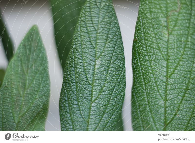 grüngrau Natur Pflanze Blatt glänzend Blattadern