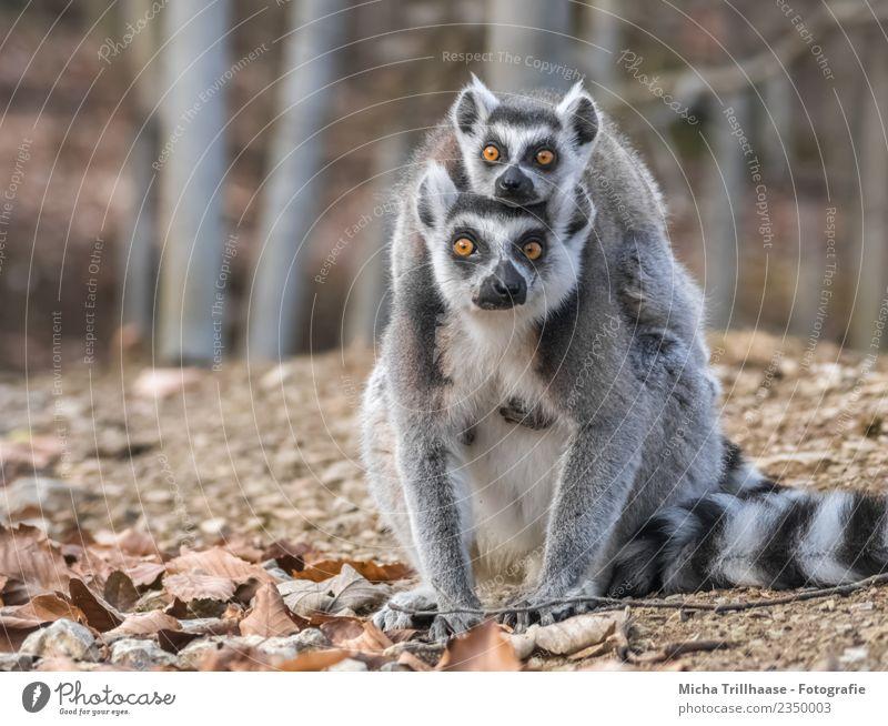 Katta und Baby Huckepack Natur Pflanze weiß Sonne Baum Tier Blatt Wald schwarz Tierjunges Auge grau orange leuchten Tierpaar glänzend