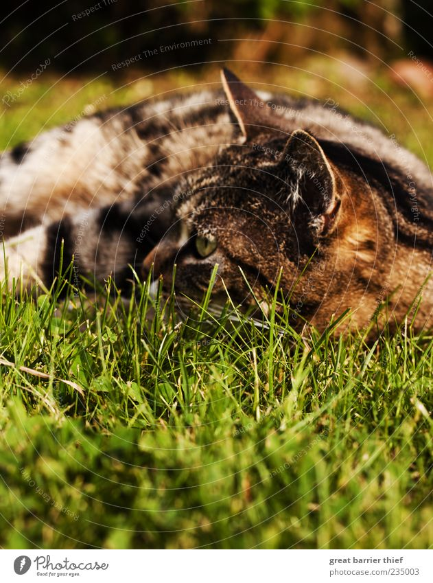 Katze Wiese Sommer Fell Natur grün Tier Gras braun liegen Perspektive beobachten Wachsamkeit Haustier Hauskatze Katzenauge