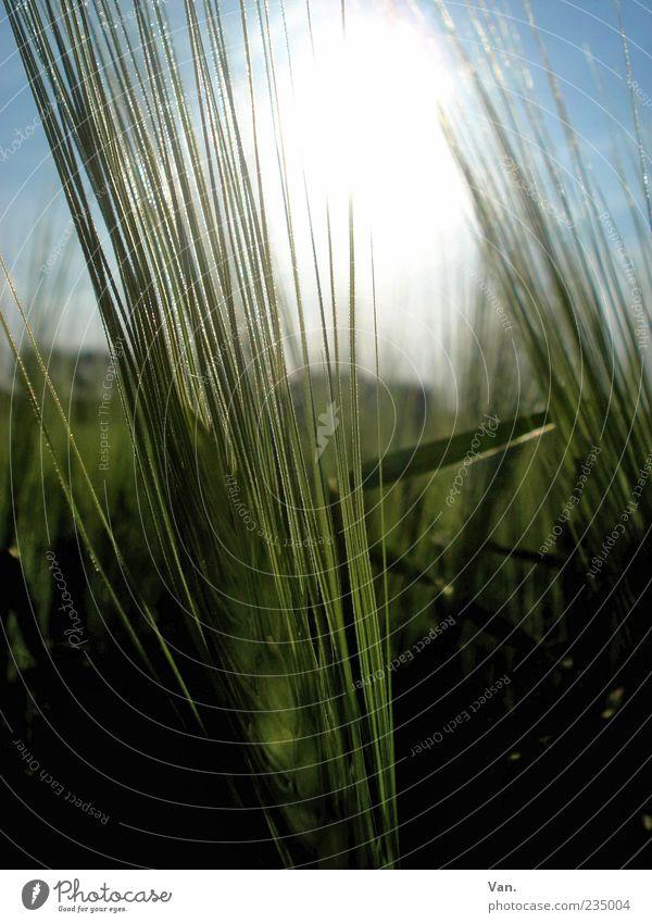 Habe die Ähre! Natur Pflanze Sonne Gerste Feld leuchten Wachstum grün Getreide Menschenleer Halm Nahaufnahme Detailaufnahme Farbfoto Außenaufnahme Tag