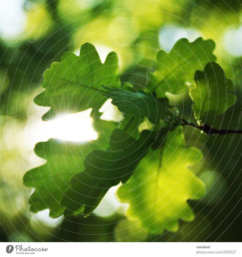 easy like sunday morning Natur grün Sonne Tier Umwelt Frühling Stimmung Wachstum Schönes Wetter Blattgrün Eiche Eichenblatt