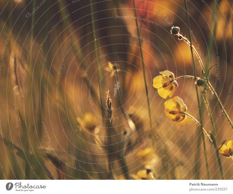 Sunshine Natur Pflanze gelb Farbe Gras Umwelt Wärme gold weich zart sanft Schönes Wetter Sumpf-Dotterblumen Warme Farbe
