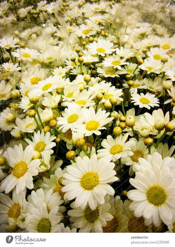 Blumen Natur weiß schön Pflanze Gefühle Blüte Umwelt viele Blumenstrauß Margerite Blume Blütenblatt Blumenladen