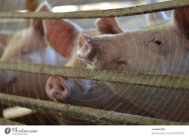Schweine im Schweinestall strecken den Rüssel durchs Gitter Natur Ferien & Urlaub & Reisen Tier Lebensmittel rosa dreckig Tiergruppe warten Neugier Sauberkeit