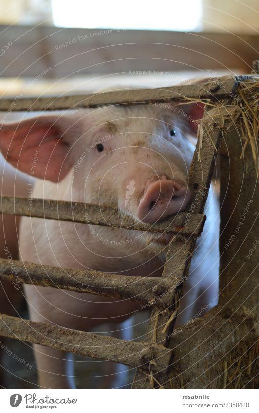 Schwein mit Blick in die Kamera beisst in Gitterstaebe Tier Gesundheit lustig rosa dreckig warten niedlich beobachten Neugier Sauberkeit Landwirtschaft