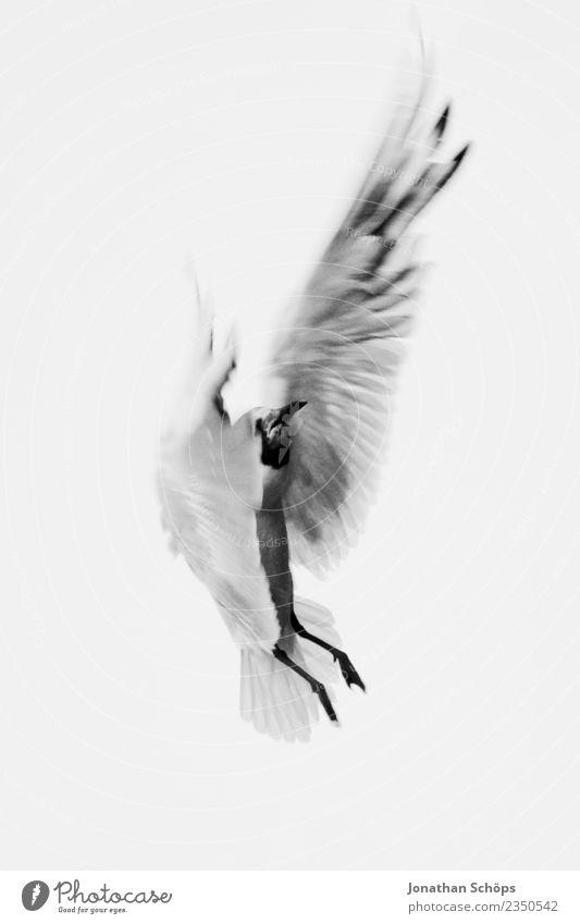 fliegende Möwe an der Ostsee Tier Deutschland Vogel Insel Flügel tierisch Rügen Landen rebellisch Absturz Möwenvögel Nahrungssuche Strandspaziergang