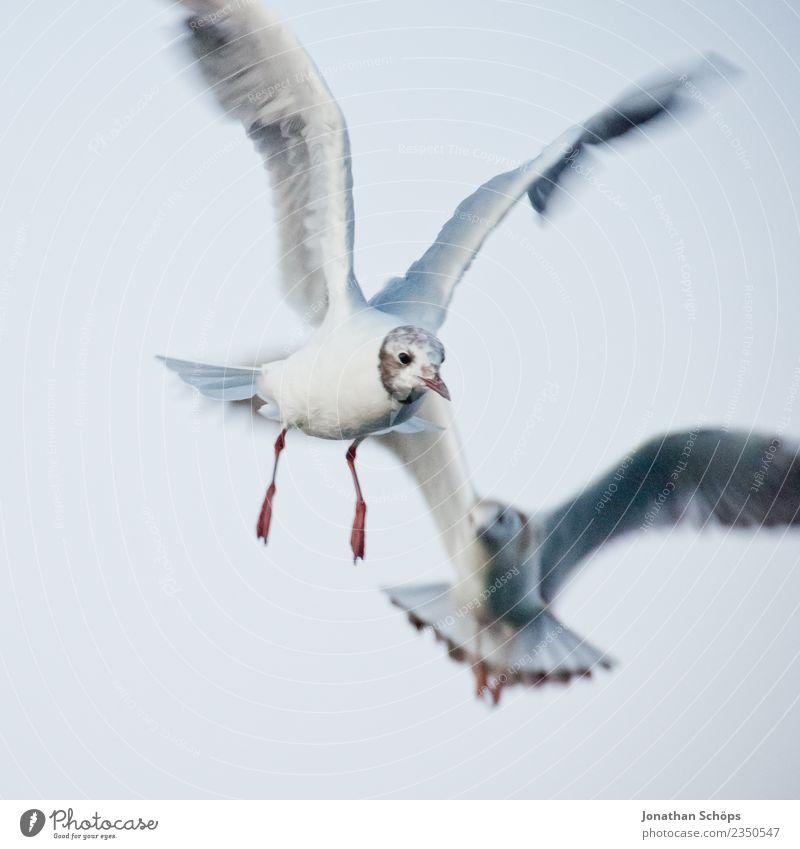 fliegende Möwen an der Ostsee Tier Vogel 2 rebellisch Möwenvögel Rügen Strandspaziergang Strandleben Nahrungssuche Insel Inselbewohner tierisch Binz Deutschland