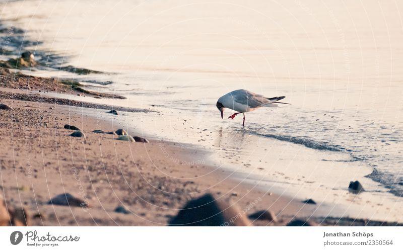 Möwe bei der Nahrungssuche am Meer Tier Vogel rebellisch Möwenvögel Strand Rügen Strandspaziergang Strandleben Ostsee Insel Inselbewohner tierisch Sellin