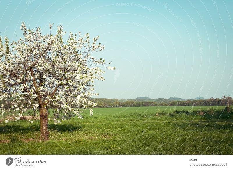 Einzelstück Sommer Umwelt Natur Landschaft Pflanze Himmel Horizont Frühling Klima Schönes Wetter Baum Gras Blüte Grünpflanze Nutzpflanze Wiese Blühend Wachstum