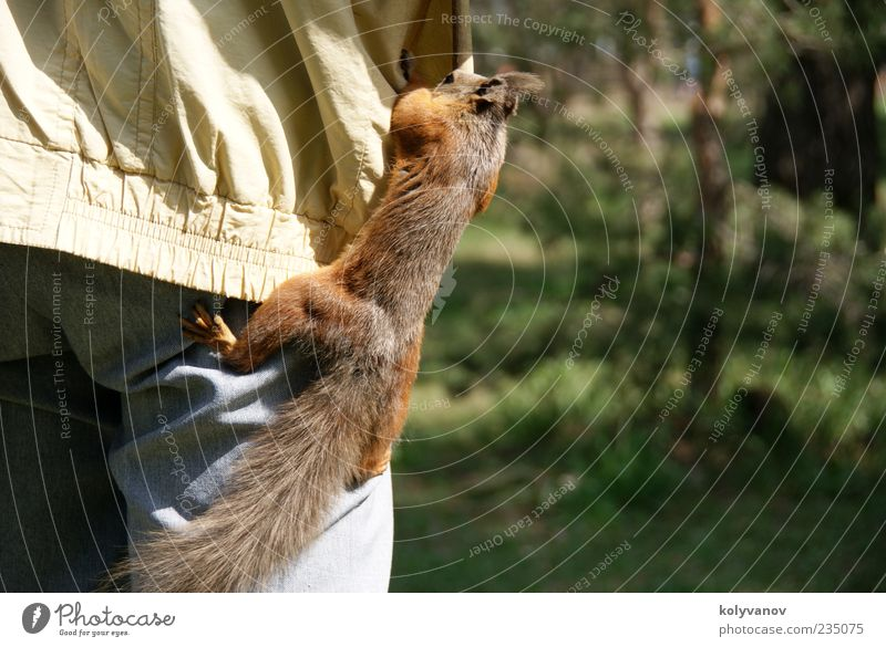 Schnelle Abwicklung schön Natur Tier Wildtier Krallen 1 Bewegung Fressen klein lustig niedlich wild braun Eichhörnchen Nagetiere Leitwerke Säugetier vulgaris