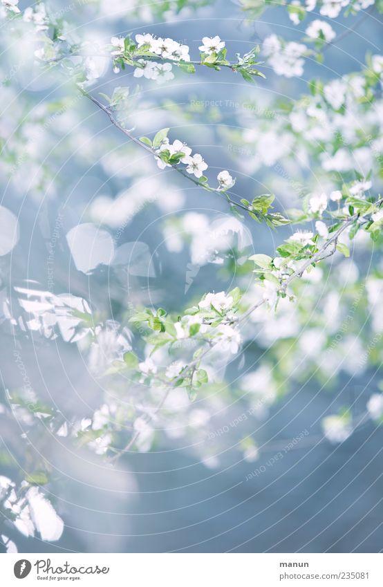 blassblau Natur weiß Baum Pflanze Blatt Blüte Frühling hell zart natürlich himmelblau Zweige u. Äste Frühlingsgefühle Frühlingsfarbe zartes Grün