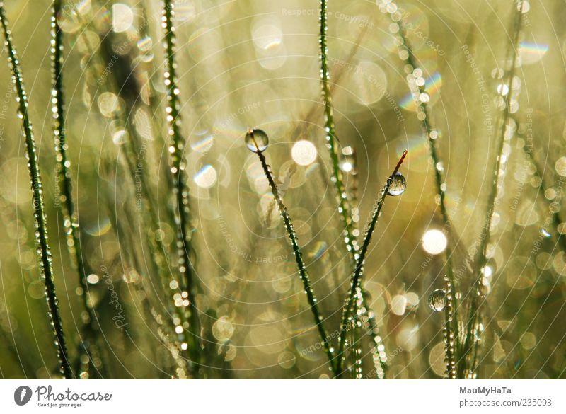 Tautropfen auf Gras Natur Pflanze Urelemente Erde Wasser Wassertropfen Sonnenaufgang Sonnenuntergang Sonnenlicht Frühling Klima Regen Blatt exotisch Garten Park