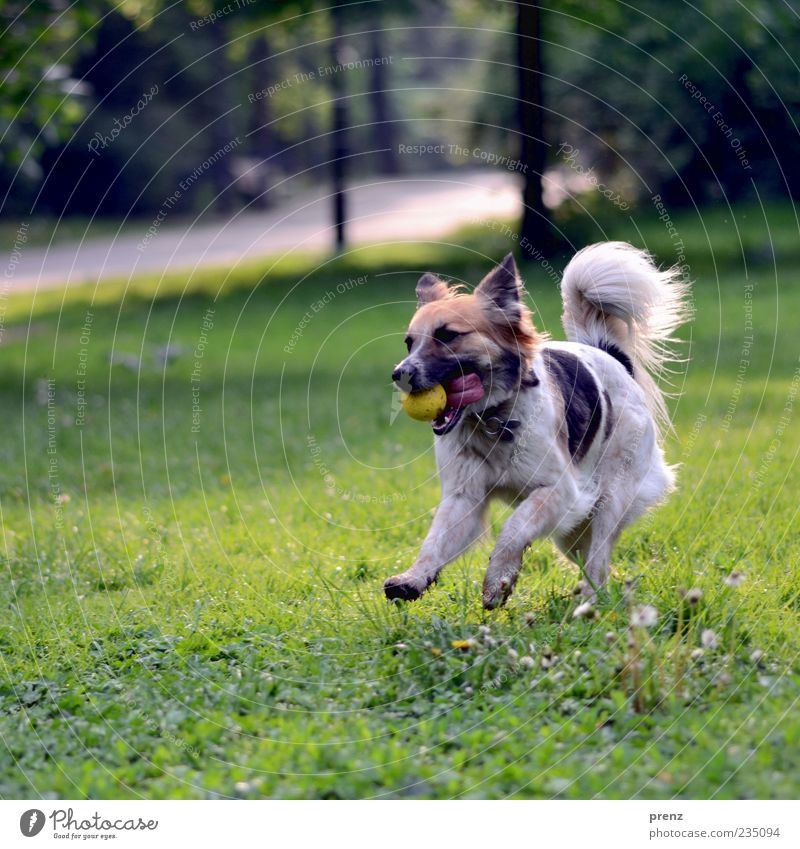 morgens im park Hund Pflanze Tier Wiese Spielen Gras Frühling springen Park laufen rennen Aktion Ball Fell Schönes Wetter Schwanz
