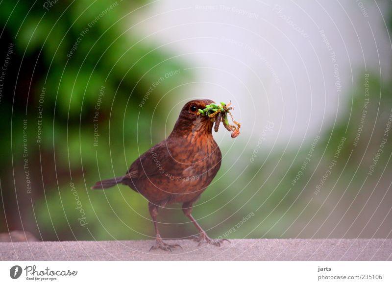 futter für die kleinen Tier Wildtier Vogel 1 Fressen Natur Amsel Futter Insekt Larve Farbfoto Außenaufnahme Nahaufnahme Menschenleer Textfreiraum links