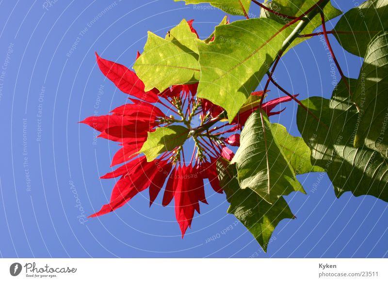 Weihnachten im Himmel Himmel Blume Pflanze rot Blatt Blüte Wachstum