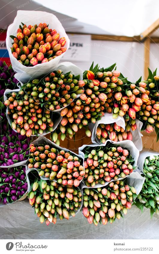 Echte Tulpen aus Holland Markt Marktstand Pflanze Sommer Blume Blatt Blüte Grünpflanze Blumenstrauß liegen viele gebunden Bündel verpackt Farbfoto Außenaufnahme
