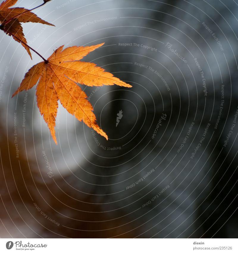 Fallen Leaves Natur Pflanze Herbst Blatt alt hängen Farbfoto Außenaufnahme Menschenleer Textfreiraum rechts Textfreiraum unten Gegenlicht Schwache Tiefenschärfe