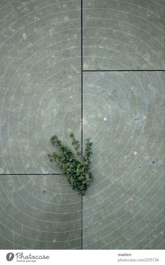 Steingarten grün Pflanze Wand grau Mauer Beton Wachstum Zeichen Willensstärke Fuge Spalte Überleben Efeu Tapferkeit Betonwand