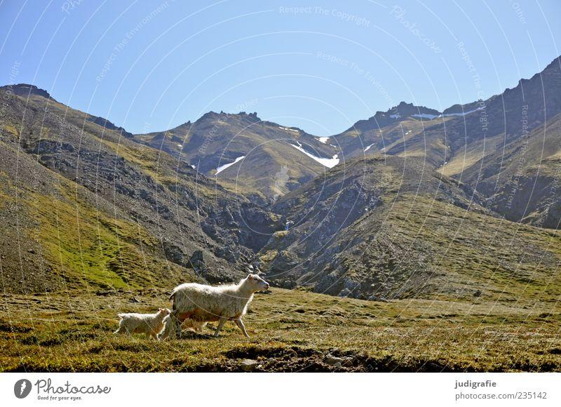 Island Umwelt Natur Landschaft Pflanze Tier Erde Himmel Wolkenloser Himmel Hügel Felsen Berge u. Gebirge Nutztier Schaf Lamm 2 3 Tiergruppe Tierfamilie laufen