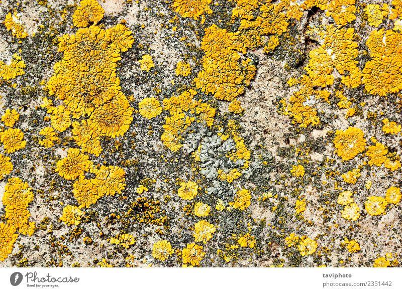 gelbes Moos auf Steinoberfläche Dekoration & Verzierung Natur Pflanze Felsen alt Wachstum natürlich grau weiß Farbe Flechten Konsistenz Oberfläche Hintergrund