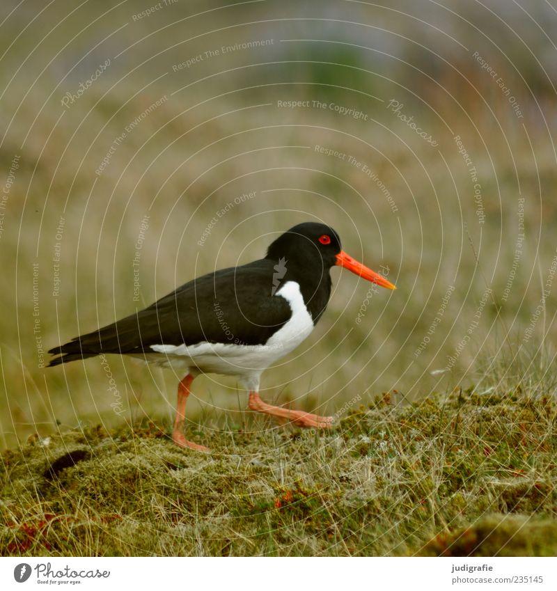 Island Umwelt Natur Pflanze Tier Wildtier Vogel Austernfischer 1 gehen frei schön rot schwarz weiß Leben Farbfoto Außenaufnahme Menschenleer Tag Tierporträt