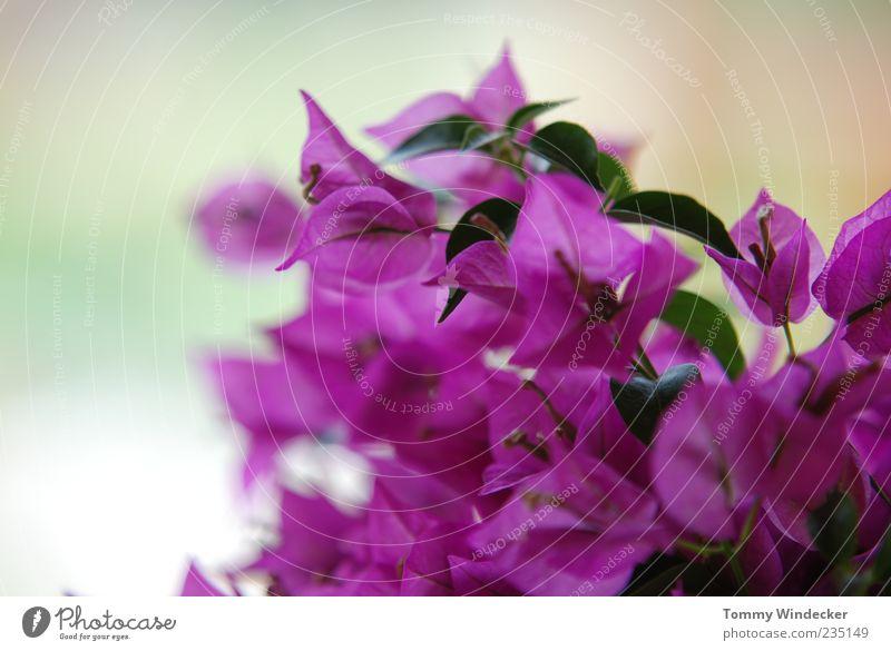for girls only Natur Pflanze Frühling Sommer Blume Blatt Blüte exotisch Blühend Duft frisch schön violett rosa Frühlingsgefühle Leben elegant Farbe Idylle